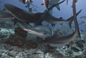 Shark-dive-roatan