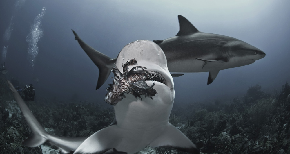 Shark Eating Lionfish
