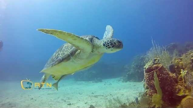 Roatan Turtle while diving