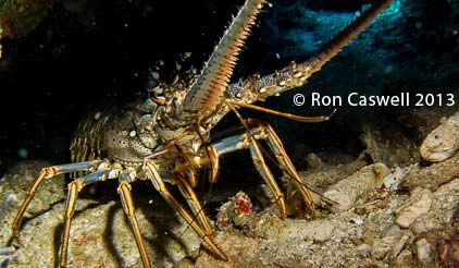 roatan-lobster
